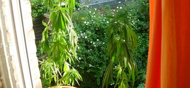 Pourquoi les plantes se fanent-elles ?
